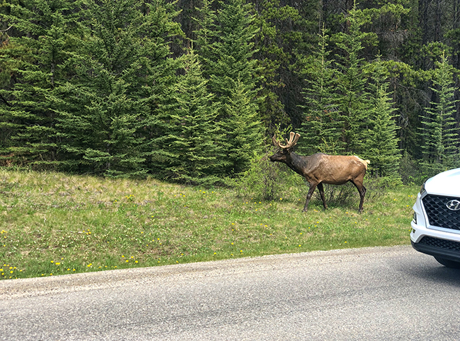 Elk spoted on the road to lake louise