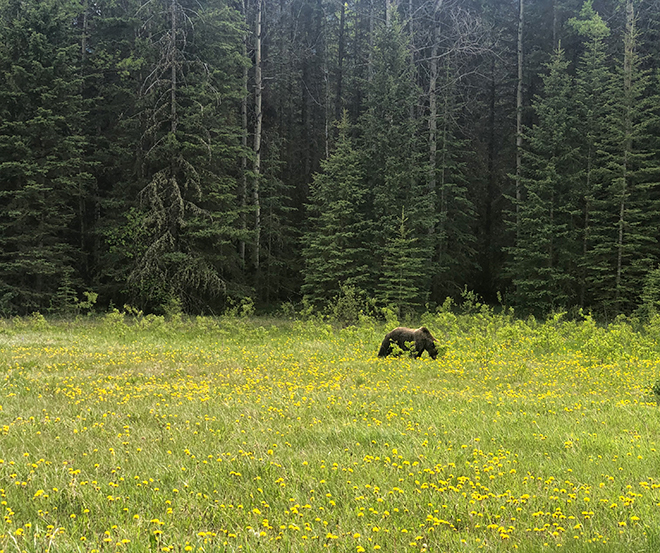 grizzly bear spotted on the way to lake louise