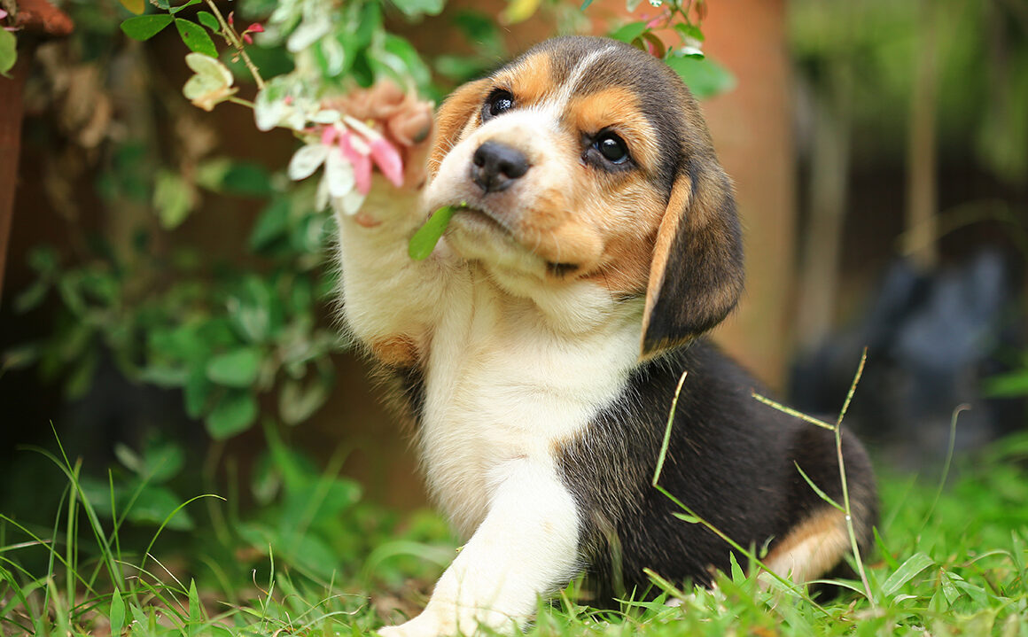 what-is-an-emotional-support-animal-adorable-beagle-puppy-in-grass